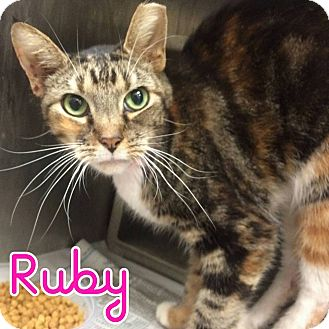 Domestic Shorthair Cat for adoption in Bensalem, Pennsylvania - Ruby