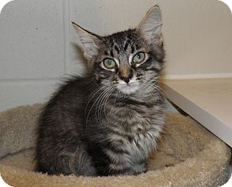 Domestic Mediumhair Kitten for adoption in Council Bluffs, Iowa - Magic
