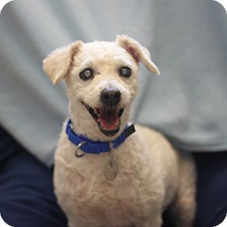 Poodle (Miniature) Mix Dog for adoption in Naperville, Illinois - Percy