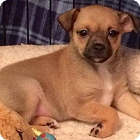 Adopt A Pet :: Taffy - Woodbridge, VA