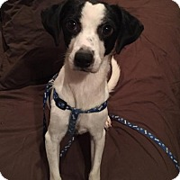 Adopt A Pet :: Samantha - Barnhart, MO
