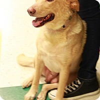 Adopt A Pet :: Riley (golden lab mix) - Morganville, NJ