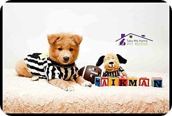 Shepherd (Unknown Type) Mix Puppy for adoption in Richardson, Texas - Aikman