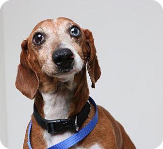 Dachshund Dog for adoption in Edina, Minnesota - Bandit  D161802