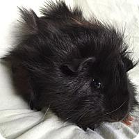 Guinea Pig for adoption in Steger, Illinois - Max