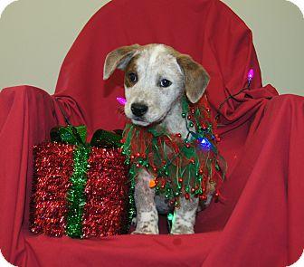 Australian Cattle Dog/Blue Heeler Mix Puppy for adoption in Brattleboro, Vermont - Heidi ~ ADOPTED!