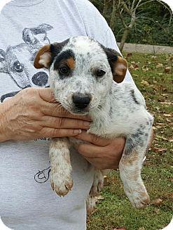 Australian Cattle Dog Mix Puppy for adoption in Livingston, Texas - Endora