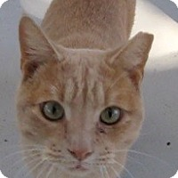 Domestic Shorthair Cat for adoption in Georgetown, Texas - Austin