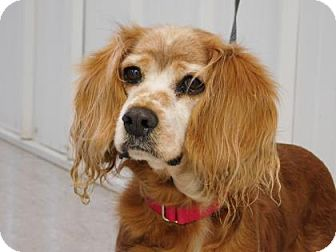 Cocker Spaniel Dog for adoption in Freeport, Illinois - Cookie