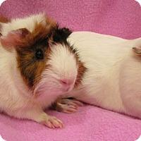 Adopt A Pet :: Toph - Steger, IL