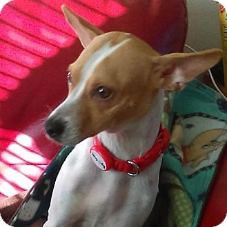 Jack Russell Terrier Mix Dog for adoption in Tucson, Arizona - Snoopy