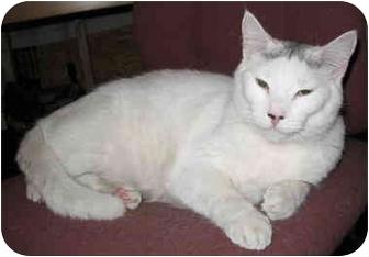 Domestic Shorthair Cat for adoption in Cincinnati, Ohio - Sooty