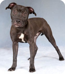 American Staffordshire Terrier/Labrador Retriever Mix Dog for adoption in Chicago, Illinois - Mink
