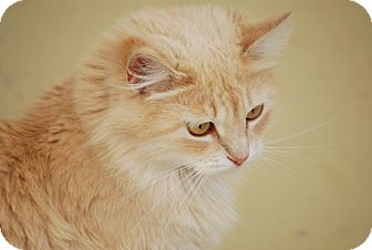 Maine Coon Cat for adoption in Bensalem, Pennsylvania - Blondi