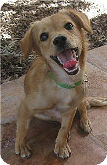 Terrier (Unknown Type, Small)/Chihuahua Mix Dog for adoption in Phoenix, Arizona - Reggie