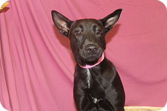 Cattle Dog/Labrador Retriever Mix Puppy for adoption in Waldorf, Maryland - Lucy
