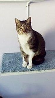 Domestic Mediumhair Cat for adoption in Montello, Wisconsin - **Bankston