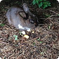 Adopt A Pet :: Brownie - Conshohocken, PA