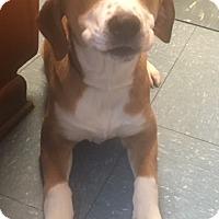 Adopt A Pet :: Clara Bell - Bedford, TX