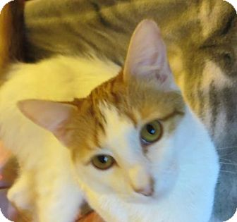 Domestic Shorthair Cat for adoption in Ventura, California - Roswell