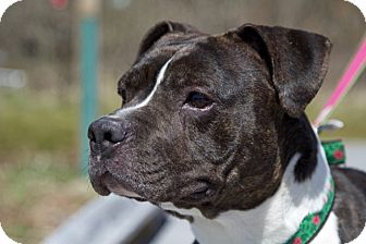 Pit Bull Terrier/Labrador Retriever Mix Dog for adoption in Fall River, Massachusetts - Princess