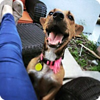 Adopt A Pet :: Josie - Davie, FL