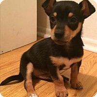 Adopt A Pet :: James - Chloe Pup - Encino, CA