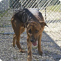 Shepherd (Unknown Type)/Hound (Unknown Type) Mix Dog for adoption in Vienna, Ohio - Brutus - Prison CCP