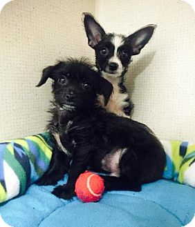 Yorkie, Yorkshire Terrier/Chihuahua Mix Puppy for adoption in Imperial Beach, California - Lola and Tevis