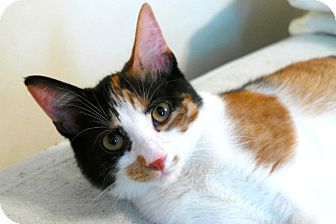 Domestic Shorthair Cat for adoption in Durham, North Carolina - Freya