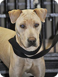 Weimaraner Mix Dog for adoption in Woodburn, Oregon - Nemo