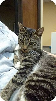Domestic Shorthair Cat for adoption in Henderson, North Carolina - Hootie