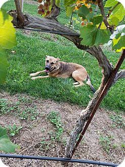 German Shepherd Dog Mix Dog for adoption in DeForest, Wisconsin - Ava