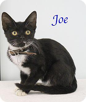 Domestic Shorthair Kitten for adoption in Bradenton, Florida - Joe