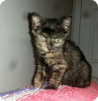 Domestic Shorthair Kitten for adoption in Winterville, North Carolina - PIPPA