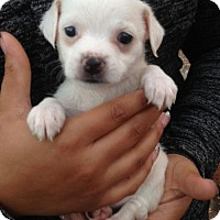 Adopt A Pet :: ! 7 Luna - Colton, CA