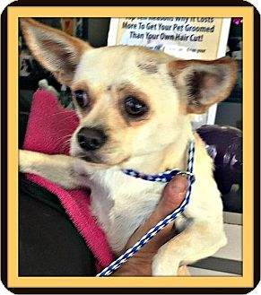 Chihuahua Mix Dog for adoption in Rancho Cucamonga, California - Bennie
