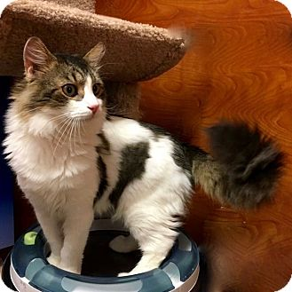 Maine Coon Cat for adoption in Long Beach, New York - Sam