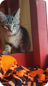 Domestic Shorthair Kitten for adoption in yuba city, California - Kit Kat