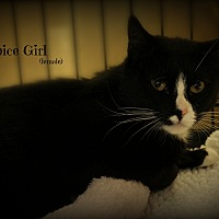 Adopt A Pet :: Spice Girl - Springfield, PA
