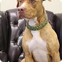 American Pit Bull Terrier Mix Dog for adoption in Neosho, Missouri - Zora