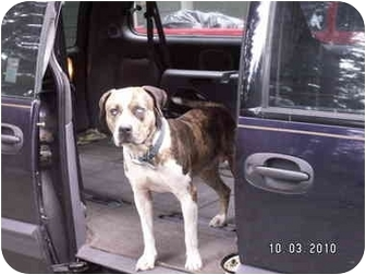 American Bulldog Dog for adoption in Graham, Washington - Boone