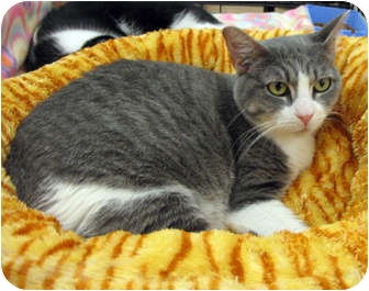 Domestic Shorthair Cat for adoption in Harrisburg, North Carolina - Winnie