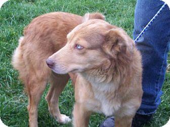 Australian Shepherd/Labrador Retriever Mix Dog for adoption in Germantown, Maryland - Abby