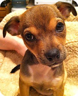 Brussels Griffon/Chihuahua Mix Puppy for adoption in Phoenix, Arizona - Ani