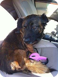 Dachshund/German Shepherd Dog Mix Dog for adoption in Windermere