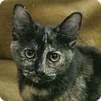 Adopt A Pet :: Cookie - white settlment, TX