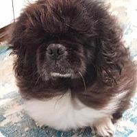 Adopt A Pet :: Midnight - Fennville, MI
