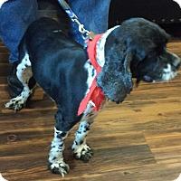 Adopt A Pet :: Oreo - Sugarland, TX