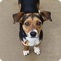 Adopt A Pet :: Roary - Bellflower, CA